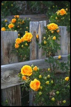 Yellow roses <3
