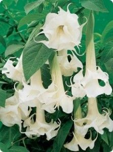 "White flowers for your garden | I love the subtle elegance of white flowers, which allows me to focus more on their form and symmetry. I've already pinned many of my favorites earlier on this board. The pins that follow are a few more of my favorites.  This one is brugmansia, ""angel's trumpet."""