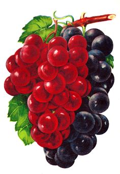 Grapes illustration art
