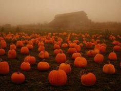 foggy pumpkin patch
