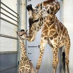 Can't get enough of this cuteness! Visit the Greenville Zoo to see Autumn the giraffe and her sweet new baby! Photo by Greenville Zoo Foundation // yeahTHATgreenville