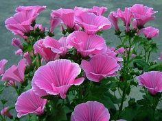 Русское название лаватеры-дикая роза или хатьма. Лаватера очень неприхотливая, засухоустойчивая и холодоустойчивая. Она украсит любое место: у кустов около забора, из нее получаются нарядные группы или рабатки. Срезанные ветки стоят в воде до 10 дней. Лаватера светолюбива, хорошо растёт на рыхлых, питательных почвах. размножают лаватеру семенами, можно сразу в грунт с середины мая или на рассаду в конце апреля начале мая. Цветет лаватера до наступления заморозков. Подкармливают лаватеру два…
