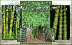 dwarf buddha belly bamboo - Google Search