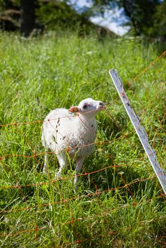 A lamb on a farm in