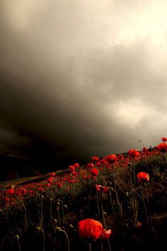 Red Poppies  Repin & Follow my pins for a FOLLOWBACK!  Flounders Field