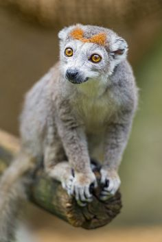 Almost every species of lemur, wide-eyed primates unique to Madagascar, is under threat of extinction. That is the conclusion of an international group of conservationists, who carried out an assessment of the animals' status. Primates, Mammals, Amor Animal, Animal 2, Mundo Animal, Amazing Animals, Unusual Animals, Animals Beautiful, Strange Animals