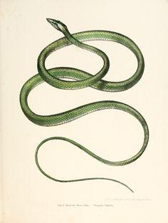 Dryophis fulgidus ~ by Leopold Joseph Fitzinger