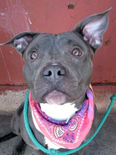 """TO BE DESTROYED -TUES 3/25/14 Brooklyn Center  PRECIOUS A0993958   FEMALE GRY/WHT PIT MIX 1 yr  OWN SUR -ALLERGIES  3/14/14 Volunteer rave """"I've walked Precious several times and she is a sweetheart! ... She is so loving and adores people - loves to be pet. She seems housetrained and to like other dogs. Her owner notes and behavior evaluation are great.""""  """"She is sort of unassuming, doesn't have an overwhelming personality at all."""" Help her find a forever home!"""