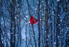cardinal in blue woods
