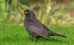 Listen to Common Blackbird on british-birdsongs.uk, which is a comprehensive collection of English bird songs and bird calls. Common British Birds, Blackbird Song, Animals And Pets, Cute Animals, Bird Calls, British Garden, Backyard Birds, Bird Watching, The Great Outdoors
