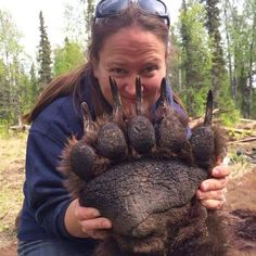 Wow! Look at the paws on this tranquilized Alaskan bear.