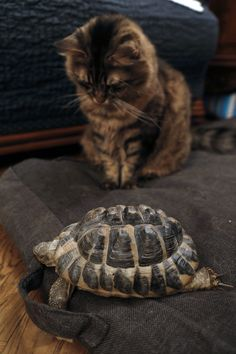 The Cat and the Hermann Tortoise | FRANCOIS GUILLOT/AFP/Getty Images