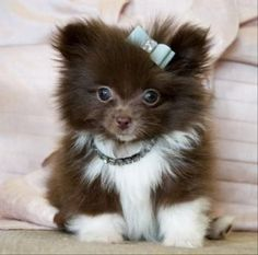 Quite Possibly The Cutest Animals On The Internet! More Teacup Pomeranians Puppys, Cutest Dogs, Teas Cups, Pet, Adorable, Bows, Puppys Pomeranians, Cutest Animal, Pomeranian Puppy Tea Cup Pomeranian Puppy. Im sold. Someone buy me this adorable puppy. Quite Possibly The Cutest Animals On The Internet! 32 Pics -follow my profile for more pets things! Seriously adorable! Pomeranians are the cutest dogs ever :) TeaCup Pomeranian Puppy omg so adorable. Teacup Pomeranian Puppy #Pomeranian TeaCup…