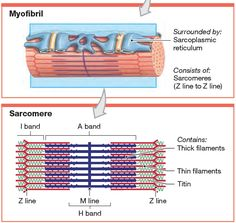 Structure and position of titin in a sarcomere. Human Muscle Anatomy, Human Anatomy And Physiology, Teaching Science, Life Science, Psychology Studies, Exercise Physiology, Musculoskeletal System, Nursing School Notes, Muscular System