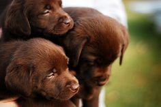 cute and cuddly.  chocolate lab puppies.