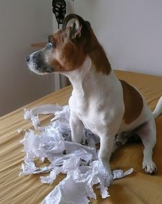 (5) Just like a Jack Russell :) BestJrtLovers.com - Jack Russell Terrier Lovers