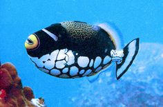 Clown Trigger Fish // Spotted in: Vietnam & Indonesia