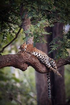 A leopard recharging its batteries in the heat of the afternoon in the shade of this TREEmenously awesome location ❤