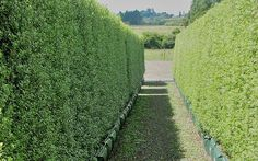 Podocarpus totara hedge - Google Search