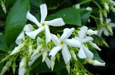Jasmine Plant Fertilizer: When And How To Fertilize Jasmine -  Learn the secrets to thriving floral coated plants and how to fertilize jasmine properly in this article. The best blooms occur on plants that have been well cared for and fed routinely.
