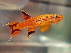 Mini-poissons pour nano-aquariums - NanoDouce.com