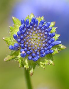 Jasione laevis [Family: Campanulaceae]