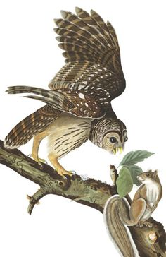 * John James Audubon - - - Barred owl - (014-001)