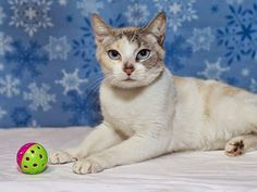 A Downey Cat Blog: Downey CA: Urgent NO INTEREST!! $205 PLEDGED FOR STUNNING KITTY! RE:Trudy is a STUNNING KITTY WITH BLUE EYES NEEDING OUT