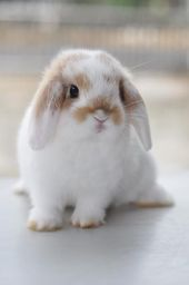 Cute Bunny Pictures, Baby Animals Pictures, Cute Animal Pictures, Bunny Pics, Cute Little Animals, Cute Funny Animals, Cute Puppies, Cute Dogs, Lop Eared Bunny