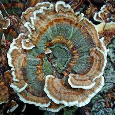 the_mushroom_ninja on Instagram: Turkey-tail  #mycophile #goneshroomin #mycology #fungi #mushrooms #champignon #hongos #shrooms #nature #beautiful #meditation #love…