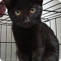 Domestic Shorthair Cat for adoption in Dallas, Texas - SADIE