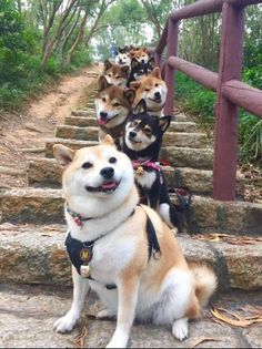 Solve Shiba Inu Queueing jigsaw puzzle online with 165 pieces Animals And Pets, Baby Animals, Funny Animals, Cute Animals, Funny Dogs, Shiba Inu, Shiba Puppy, Funny Animal Pictures, Dog Pictures