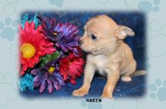 "Fairytailpuppies ""where pets are family too - GRETA"