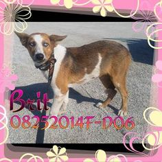 ***SUPER SUPER URGENT!!!*** - PLEASE SAVE BRIT!! - EU DATE: 9/9/2015 -- Brit (08252015f-D06) Breed:Australian Shepherd (mix breed) Age: Young adult Gender: Female Size: Medium Special needs: hasShots, Shelter Information: Delano Animal Shelter 1525 Mettler Avenue  Delano, CA Shelter dog ID: 08252015f-d06 Contacts: Phone: 661-721-3377 Name: Delano Animal Control email: SHELTER661@GMAIL.COM  Read more at http://www.dogsindanger.com/dog/1440618540532#dG7hGTRvsBFzuFzz.99