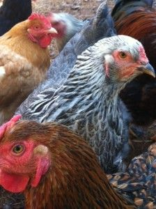 Which Chickens are Best for Your Back Yard?