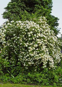 Roser, klatreroser, slyngroser, det danske rosenselskab, rosenselskabet, rose, romantiske roser, Rosa Helena Hybrida, æbletræ