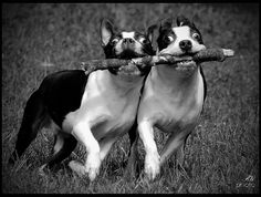 Boston Terriers running in tandem with a stick