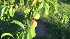 Update on the #Peaches here in zone 7A.   What zone are you in and what fruit trees are you growing?  Let me know in the comments below and don't forget to post your pictures. #welove2promote #digitalproducts #software #makemoneyonline #workfromhome #ebooks #arts #entertainment #bettingsystems #business #investing #computers #internet #cooking #food #wine #ebusiness #emarketing #education #employment #jobs #fiction #games #greenproducts #health #fitness #home #garden #languages #mobile…