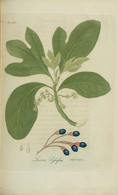 By Jacob Bigelow from American medical botany 1818 to 1820