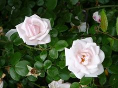 Roses: Passing Through Time and Tastes by Karen O'Brien (Rose is the 2012 IHA Herb of the Year)