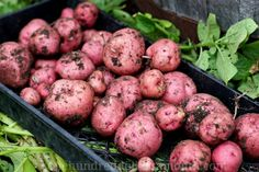 how to grow red potatoes - great website for potatoes - good info on building a potatoe tower