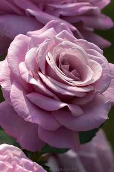 "Bildarchiv Rosa ""Reue dún Soir"" - Rose by Herzig - Fotografie"