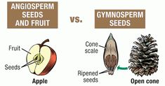 really simple, helpful chart and short lesson showing how categories like angiosperms & gymnosperms, monocots & dicots relate to one another