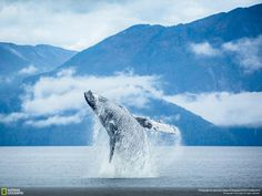 National Geographic: A breaching humpback whale leaps out of the water in British Columbia: on.natgeo.com/1wmeJoz