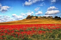 Poppy Field | Stephen Candler Photographyre - On the way to Trebujena, Spain.