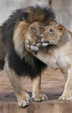 Male and female lion couples. Male and fe # female # Lion pairs # m Löwin Animals And Pets, Baby Animals, Funny Animals, Cute Animals, Wild Animals, Lion Images, Lion Pictures, Big Cats, Cats And Kittens