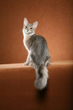 Somali cat breeder | somali kitten nevada somali kittens united states somali cat breeder ...