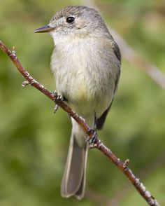 Willow Flycatcher | Audubon Field Guide