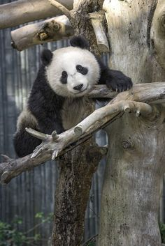The collaborative giant panda breeding program at the Zoo has been successful, with Bai Yun raising six cubs since 1999.