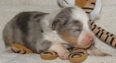 Kevlar, a blue merle toy australian shepherd.  This is one of his baby pictures.